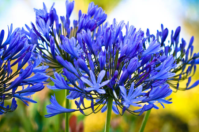 Agapanthus in Bloom in the Evening
