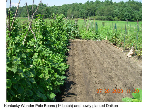 Garden Plot Shunguang - freshly planted daikon radish plot