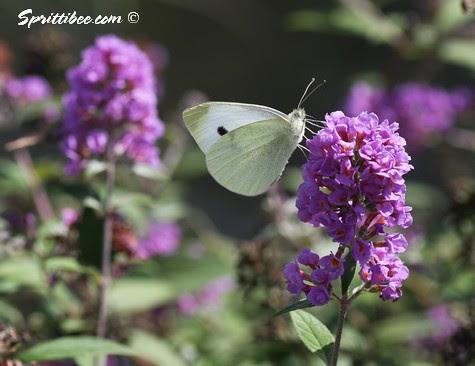 butterfly-s