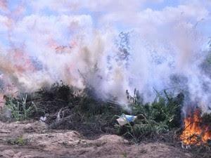 Plantio de maconha sendo incinerado no Sertão de PE (Foto: Divulgação/ Polícia Federal)