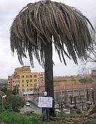 Un palmier denuncia (anche su Facebook): «Lo sai che  questa palma è morta?»