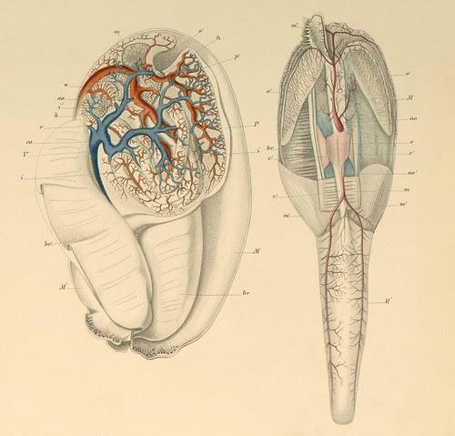 Mollusca e