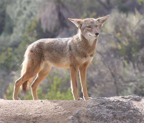 Coyotes are on the prowl on the Monterey Peninsula