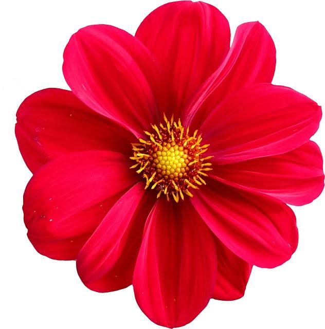 Gambar Bunga Dahlia Kartun Gambar Bunga