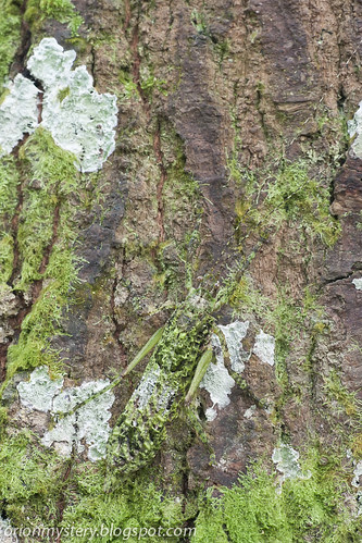 Lichen mimic katydid Olcinia sp. IMG_6979 copy