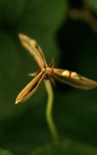viola seed