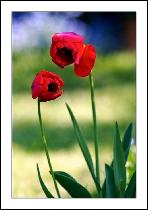 009 Tulip