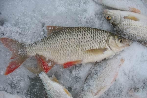 Ловля красноперки, рыбалка на красноперку зимой, ловля красноперки на зимнюю поплавочную удочку, где ловить красноперку зимой, на что ловить красноперку зимой, насадки для ловли красноперки зимой, прикорка для ловли красноперки