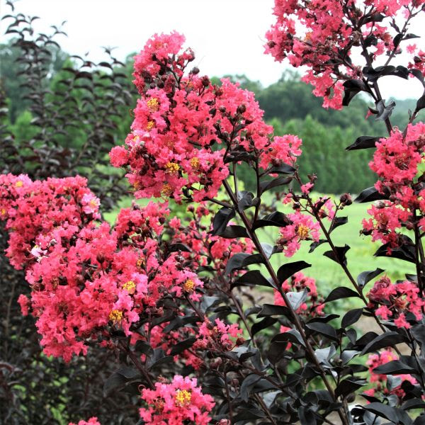 First Editions® Midnight Magic™ Crape Myrtle