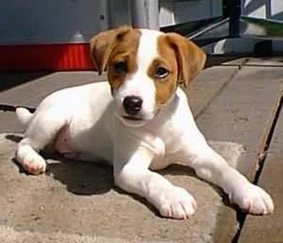 Jack Russell Terrier caracteristicas