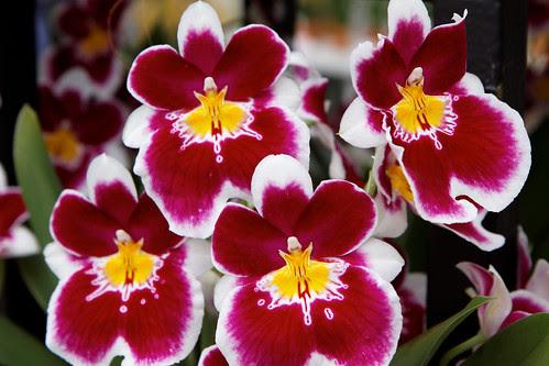 Keukenhof Orchids