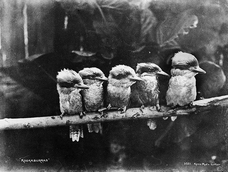 File:Powerhouse Museum Collection -  Kookaburras (pd).jpg