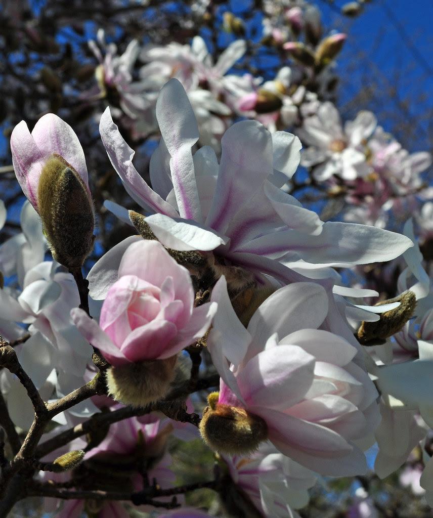 Magnolia stellata 4