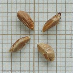 Abies fraseri seeds - Jodła Frasera nasiona