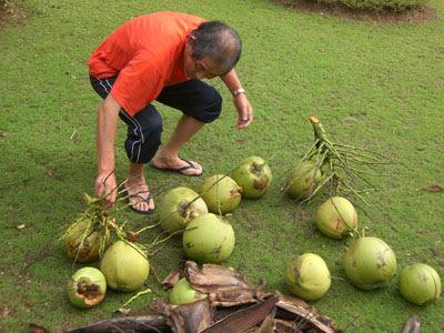 otosan coconuts