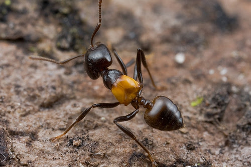 Crematogaster inflata ant....IMG_1180 copy