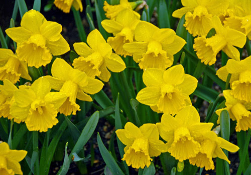 Daffodil The Official Website Of Central Park Nyc