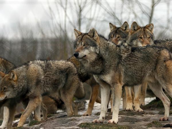 Animales Lobo