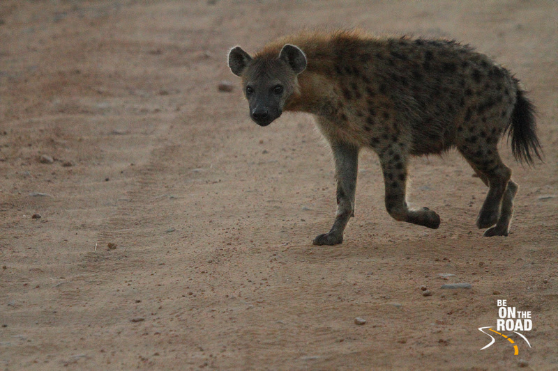 Spotted hyena looks into the lens as it crosses the jeep track