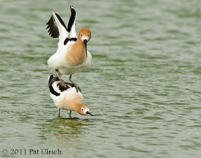Avocet finding balance - Pat Ulrich Wildlife Photography