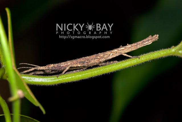 Stick Insect (Phasmatodea) - DSC_8624