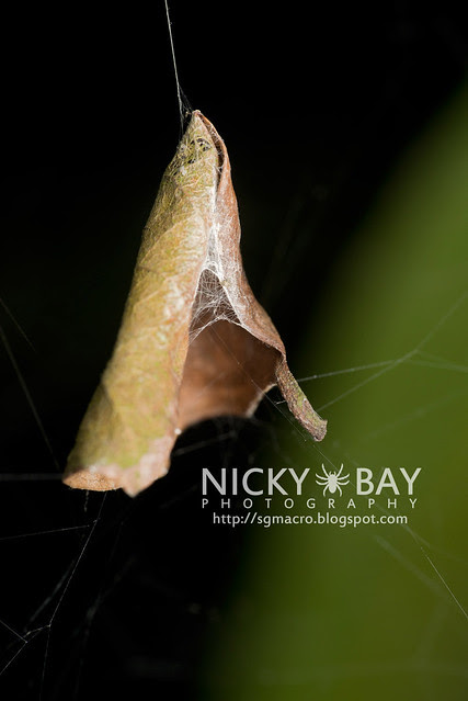 Comb-footed Spider's nest (Theridiidae) - DSC_4807
