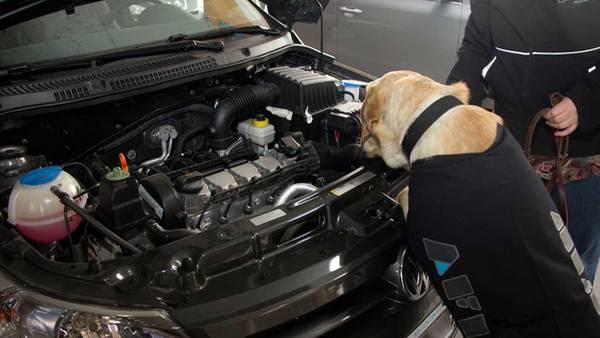 Larishka, una perra entrenada de la AFIP, descubrió 86.500 dólares que intentaban pasar de forma ilegal. (AFIP)