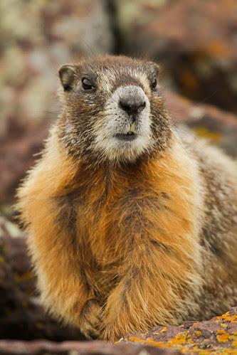 Yellow-bellied marmot-6.JPG