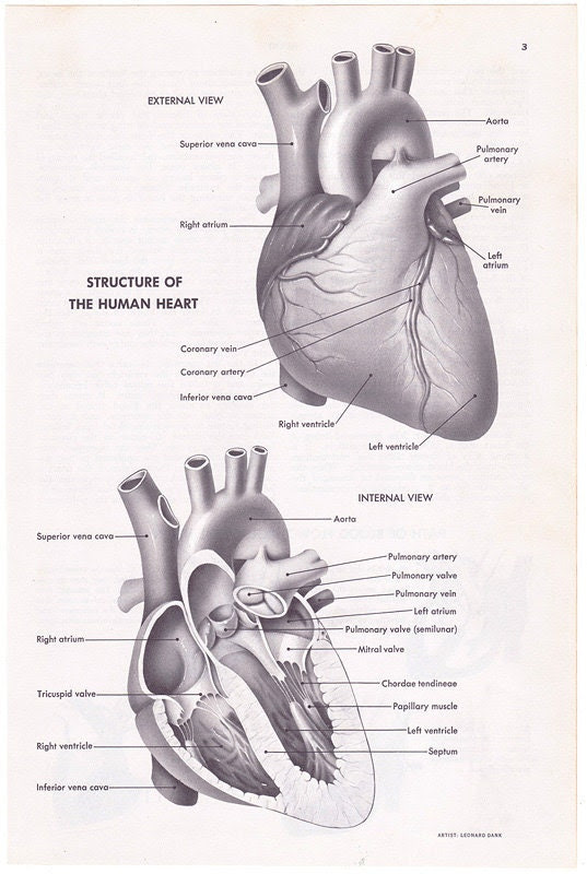 Human Heart Structure vintage encyclopedia illustration page medical anatomy diagram - Free U.S. shipping