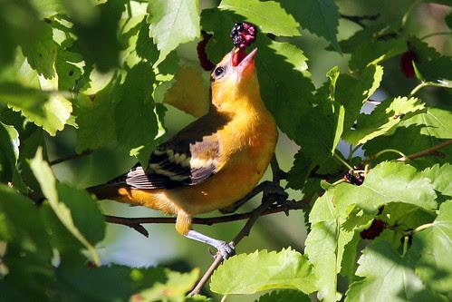 Baltimore Oriole, Female