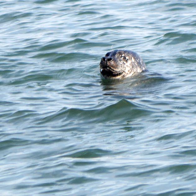 Ed Gaillard: birds &emdash; Harbor Seal, Swinburne Island