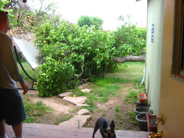 no more grapefruit tree!