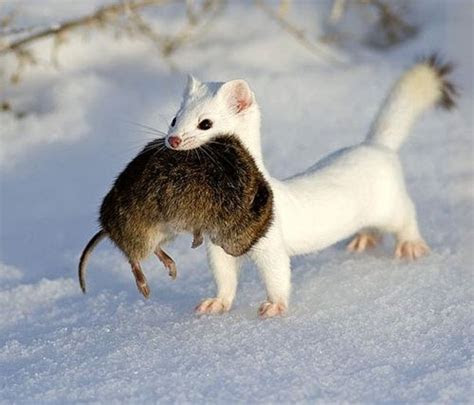 17 Best images about Arctic: Ermine /Greenland on Pinterest   Arctic animals, Piccolo and Snow