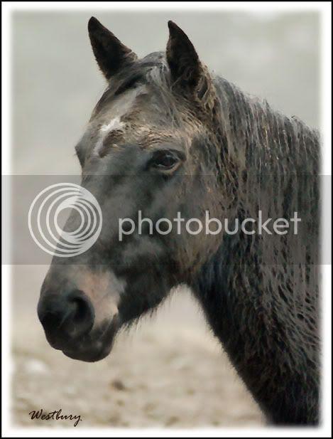 mustang,wild horses,flicka