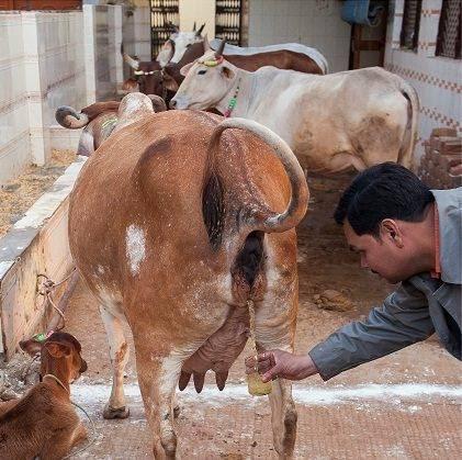 Indianos bebem urina de vaca (1)