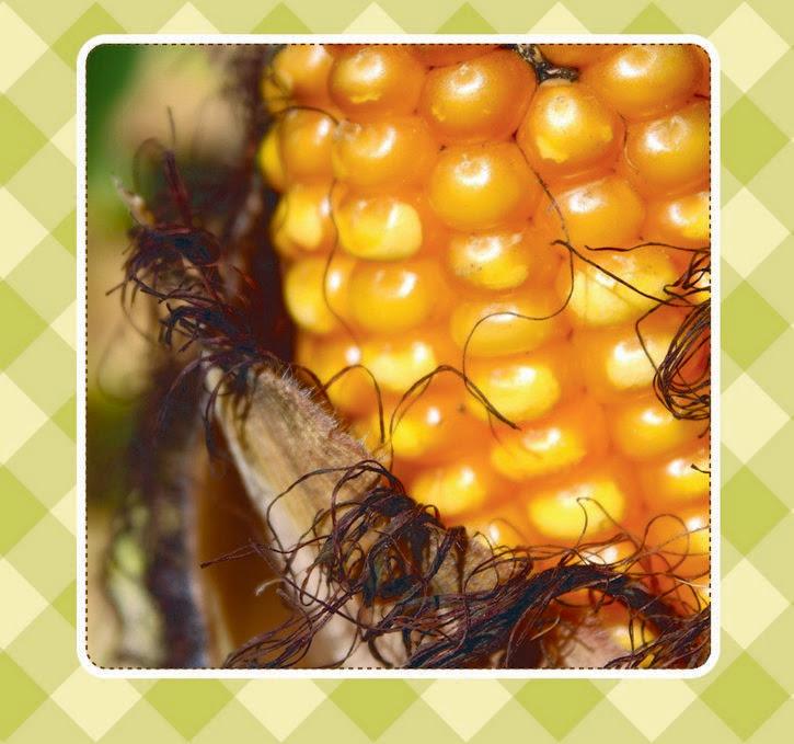 mazorca de maiz amarillo