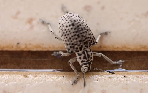 Entimus Beetle Lets Drink by Itajai de Albuquerque