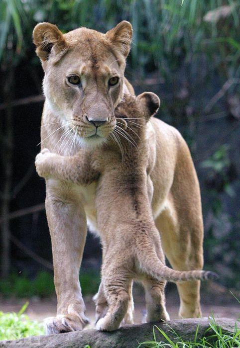 leoa-filhotecuriosidade-animais