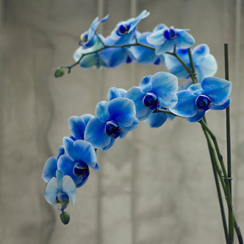 Special_blue_orchid_by_sacmaluk-d4u7xpx_large
