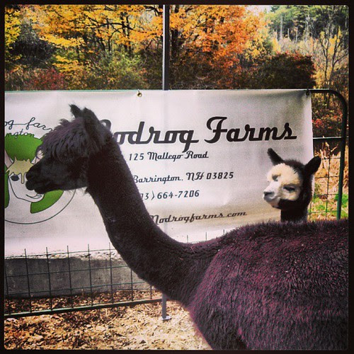 Day 12 #October #yarnpadc A is For... Alpaca! Momma & Baby #Alpaca #love