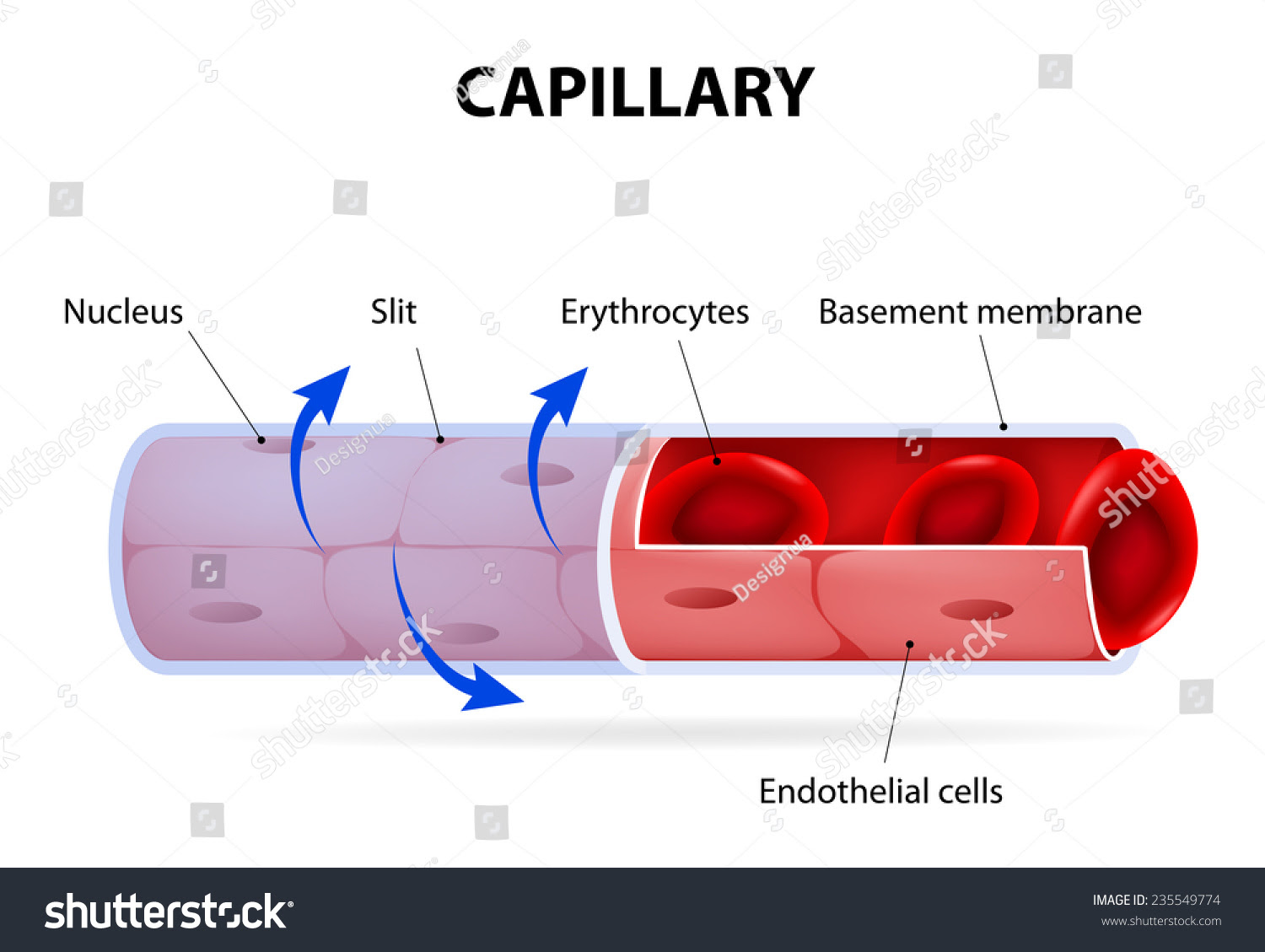 Capillary Blood Vessel Labelled Vector Diagram Stock ...