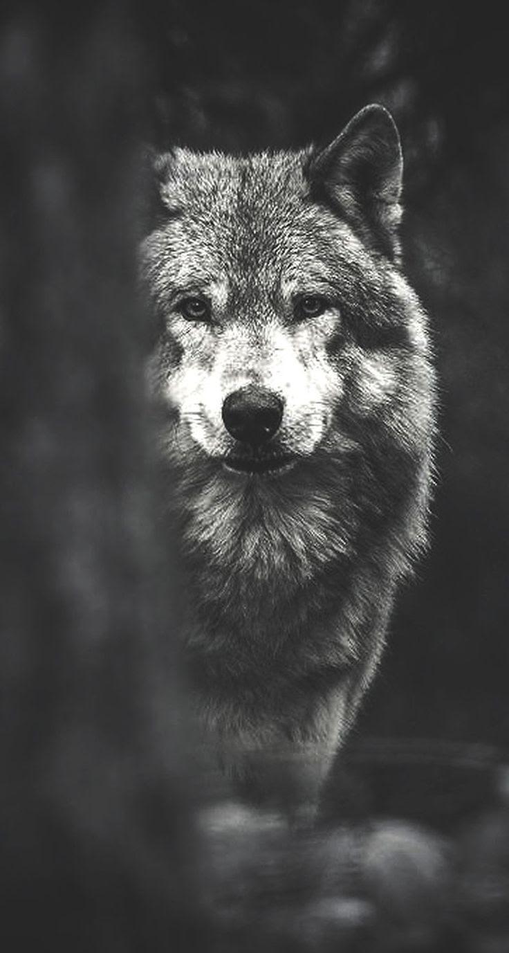 Fondos de pantalla de lobos HD  Fondos de Pantalla