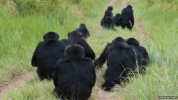 chimpancés escucha