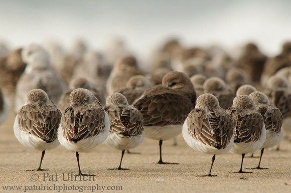 Photograph of sleeping sandpipers in Point Reyes National Seashore