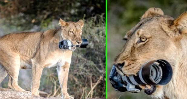 A Lioness Took The Photographer's Camera And Gave Her A Lifetime Of Memory