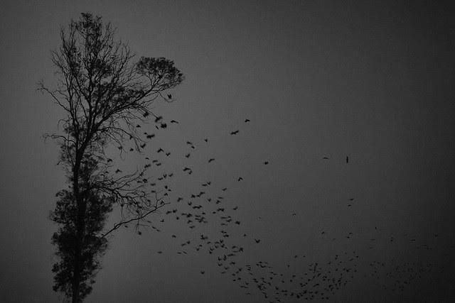 Crows falling