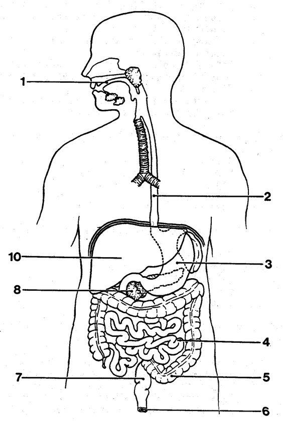 http://anatomybodyblog.com/images/3102-blank-digestive-system ...