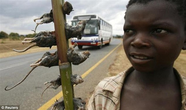 Can you save me one? If you are holidaying in Malawi soon you can sample the roadside delight of boiled rat