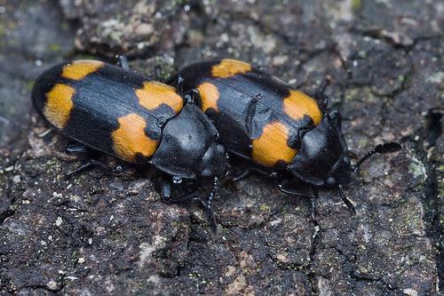 <b>Endomychidae hangsome fungus beetle </b>IMG_3332 copy