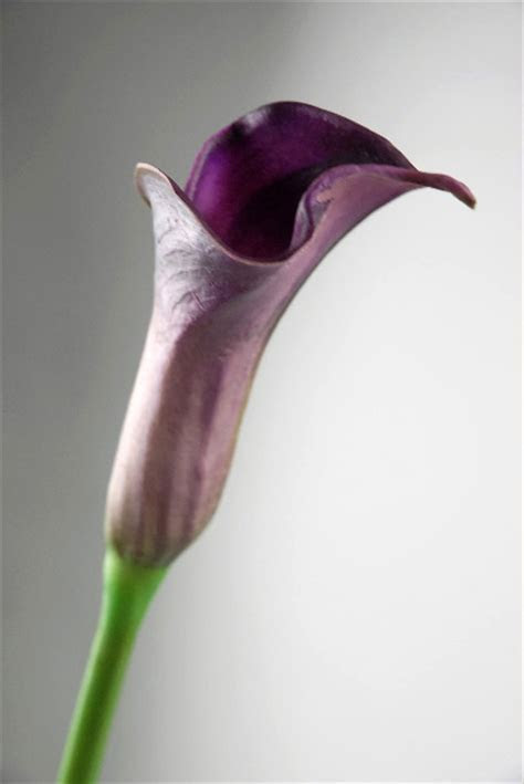 Real Touch Deep Purple Calla Lily Bud Flowers 25""